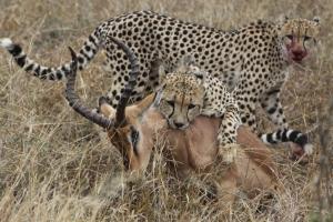 cheetahs_impala